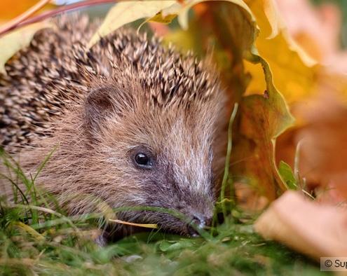 Durch naturnahe Gestaltung von Gärten finden Tiere wie z.B. der Igel einen schützenden Unterschlupf.